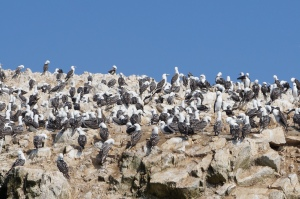 A few Peruvian Boobies hanging out in the Ballestas Islands