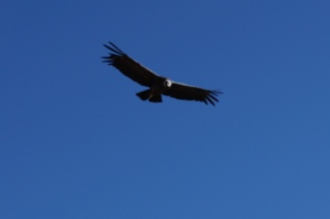 A Condor at the Cruz del Condor