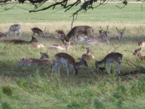A few deer in Richmond P
